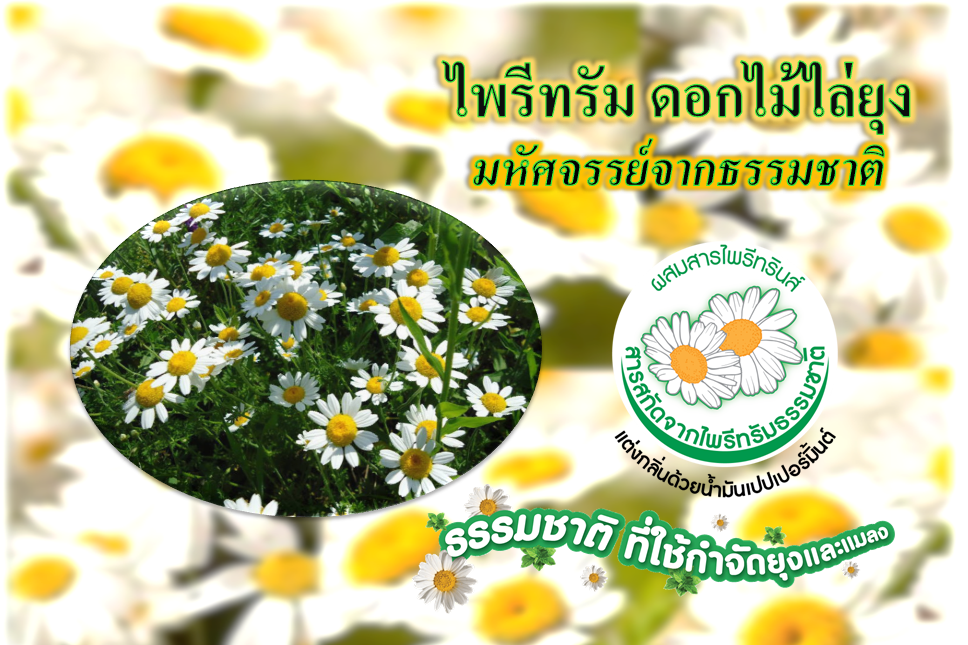ไพรีทรัม ดอกไม้ไล่ยุง…….มหัศจรรย์จากธรรมชาติ